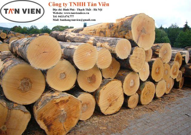 gỗ beech tròn nguyên liệu